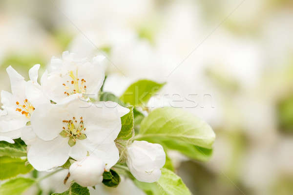 Blossoming flower in spring with very shallow focus Stock photo © artush