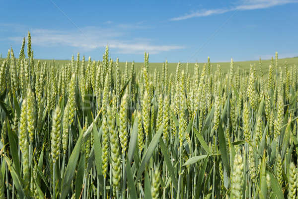 detail of organic green grains Stock photo © artush