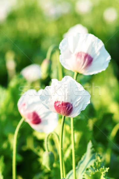 Agriculture pavot domaine scène rurale vert fleurs blanches Photo stock © artush