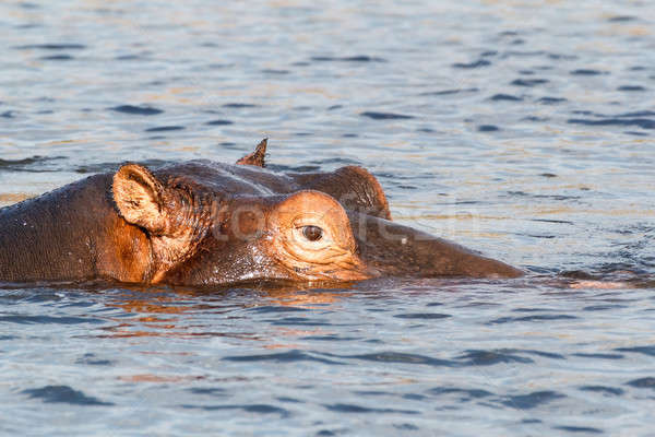 portrait of Hippo Hippopotamus Hippopotamus Stock photo © artush