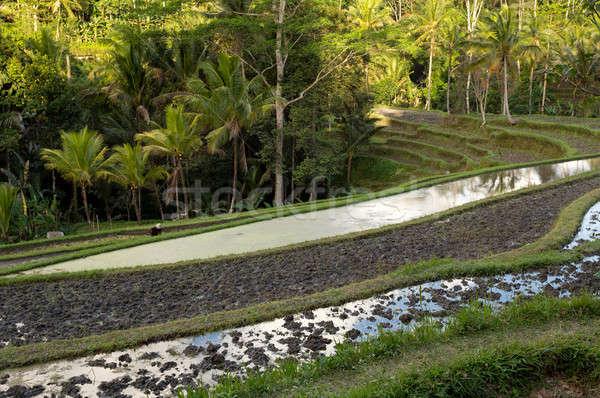 Сток-фото: риса · полях · красивой · Бали · Индонезия · лес
