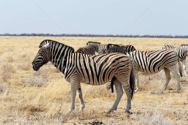 herd of Zebra in african bush Stock photo © artush