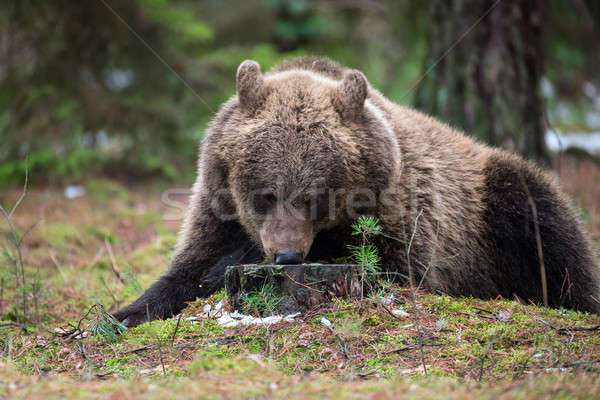 Bruine beer winter bos groot vrouwelijke naar Stockfoto © artush