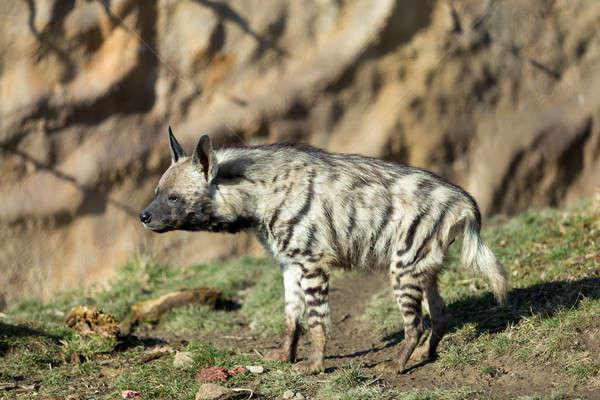 Gestreift Hyäne Kopf dunkel Augen Wüste Stock foto © artush