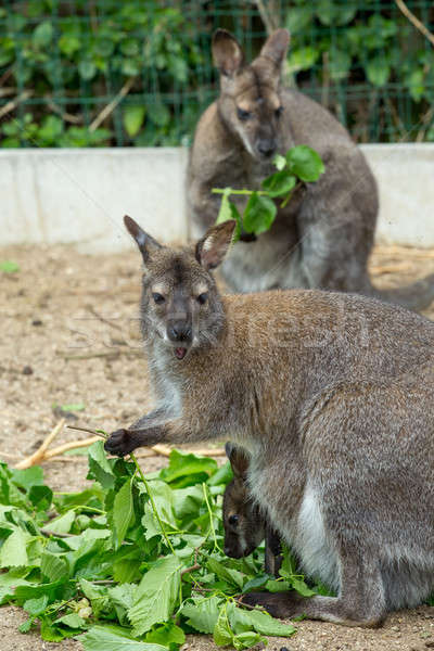 grazzing Red-necked Wallaby Stock photo © artush