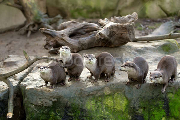 European otter (Lutra lutra) Stock photo © artush