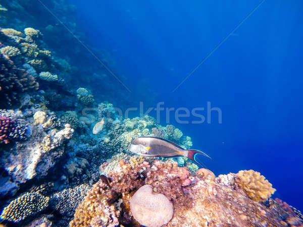 Coral and fish in the Red Sea. Safaga, Egypt Stock photo © artush