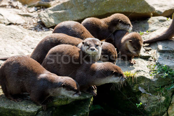 European otter family (Lutra lutra) Stock photo © artush