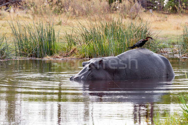 Ardea goliath perched on hippo's back Stock photo © artush
