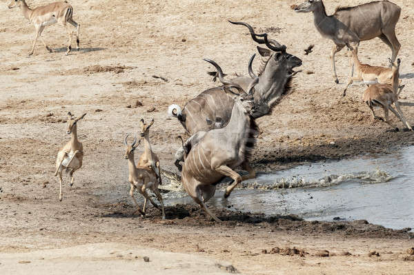unsuccessful attack on crocodile to antilops kudu and unsuccessf Stock photo © artush