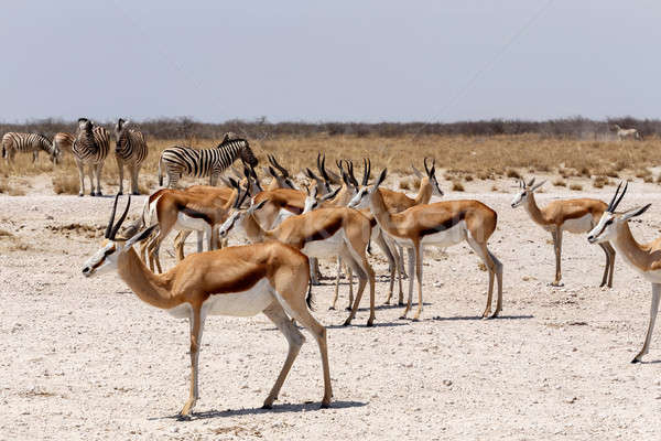 herd of springbok in Etosha Stock photo © artush