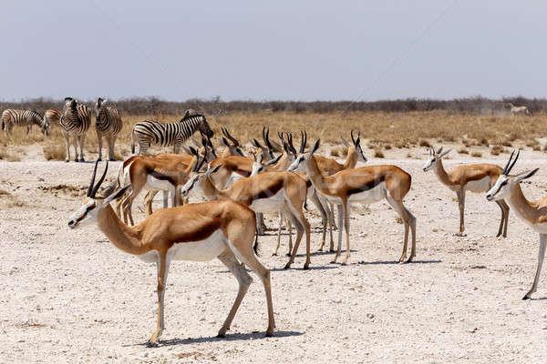 Rebanho parque Namíbia natureza veado animal Foto stock © artush
