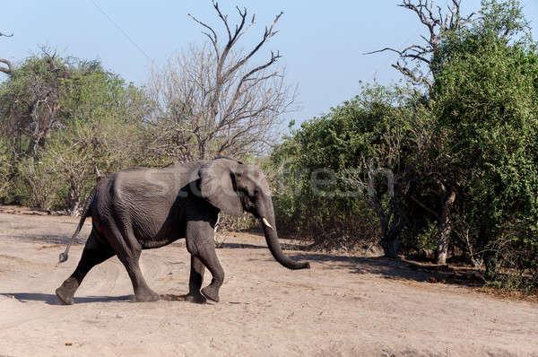African Elephant in Chobe National Park Stock photo © artush