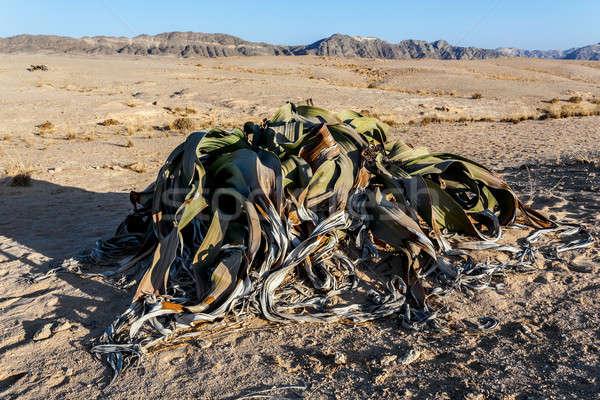 Verbazingwekkend woestijn plant wonen fossiel voorbeeld Stockfoto © artush
