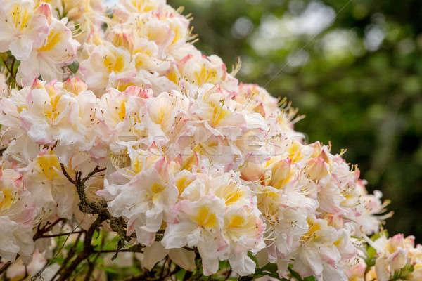 White azalea, Rhododendron bush in blossom Stock photo © artush