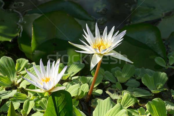 white water lily Stock photo © artush