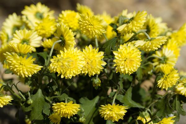 Sarı krizantem çiçekler sonbahar bahçe canlı Stok fotoğraf © artush