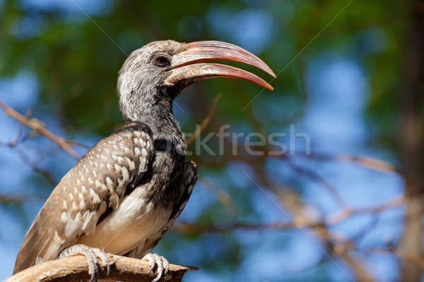 Yellow-billed Hornbill sitting on a branch and rest Stock photo © artush