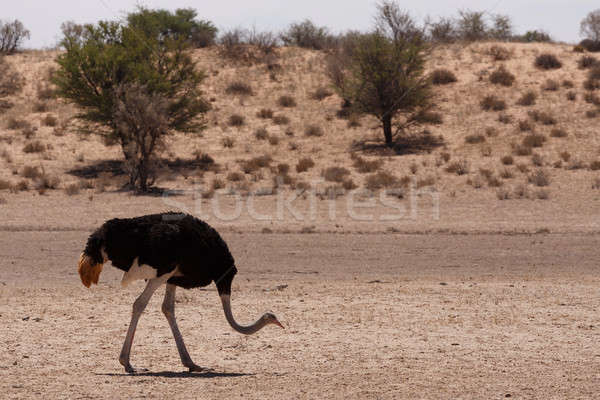 male of Ostrich Struthio camelus, in Kgalagadi, South Africa Stock photo © artush