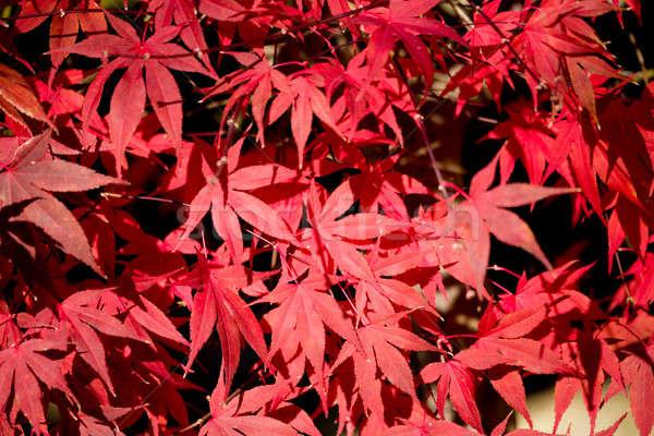 自然 赤 カエデの葉 浅い フォーカス テクスチャ ストックフォト © artush