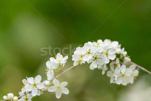 Blossom tree in spring with very shallow focus Stock photo © artush