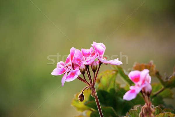 Pink bicolor geraniums in garden Stock photo © artush