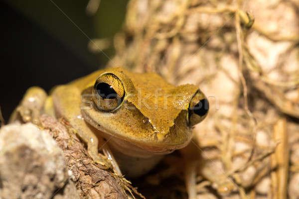 Beautiful frog Boophis rhodoscelis Madagascar Stock photo © artush