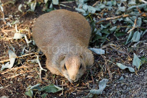 Black-tailed prairie dogs (Cynomys ludovicianus) Stock photo © artush