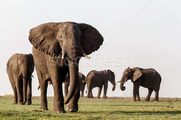 Afrika fil park portre Botsvana yaban hayatı fotoğrafçılık Stok fotoğraf © artush