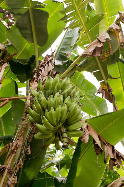 unripe bananas on the tree Stock photo © artush