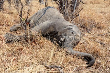 Small dead elephant in national park hwankee, Botswana Stock photo © artush