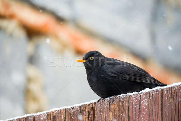 Férfi fekete rigó tél kert fa madár Stock fotó © artush