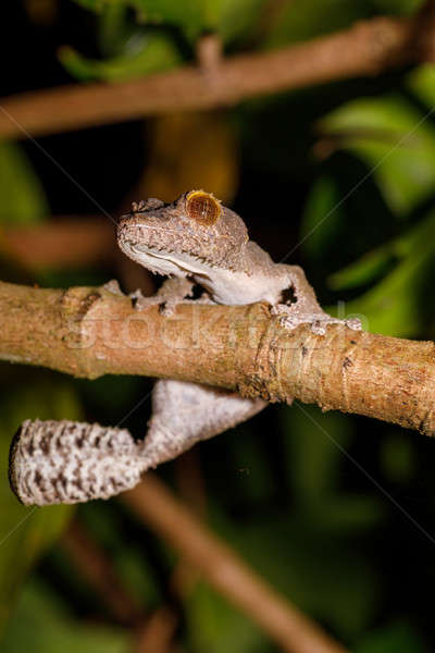 leaf-tailed gecko, Uroplatus fimbriatus, madagascar Stock photo © artush
