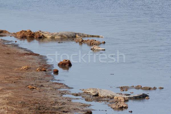 Portré krokodil víz természet Afrika fej Stock fotó © artush
