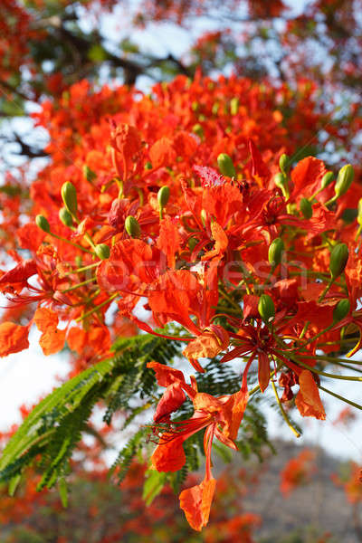 detail of Delonix Regia (Flamboyant) tree Stock photo © artush