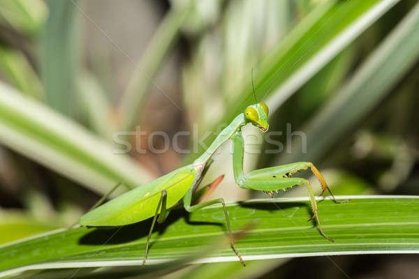 praying mantis on leaf, Sulawesi, Indonesia Stock photo © artush