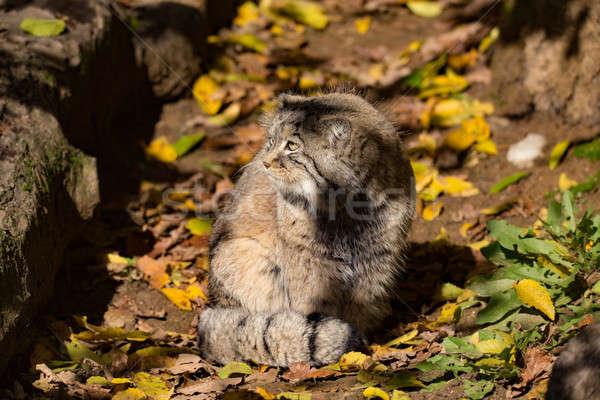 Mooie wild kat portret leefgebied Stockfoto © artush
