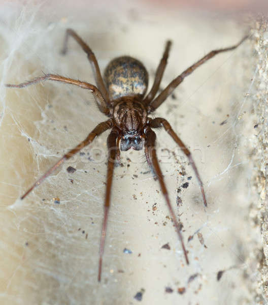 spider in the Liocranidae family on web Stock photo © artush