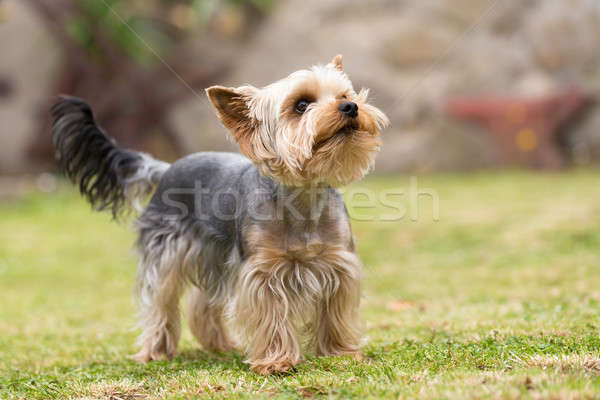 Cute small playful yorkshire terrier Stock photo © artush