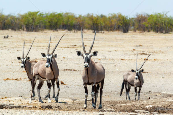 Gemsbok, Oryx gazella in savanna Stock photo © artush