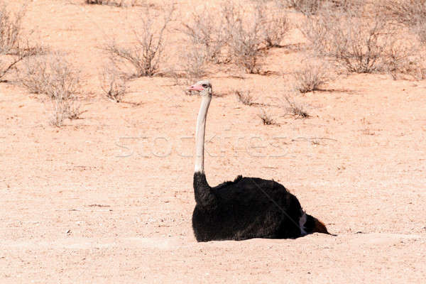 Ostrich in dry Kgalagadi park, South Africa Stock photo © artush