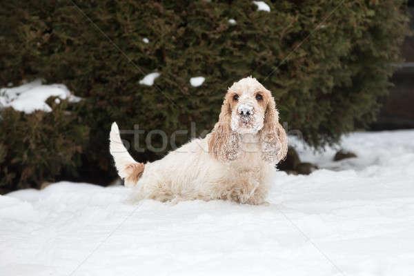 английский собака играет свежие снега Сток-фото © artush