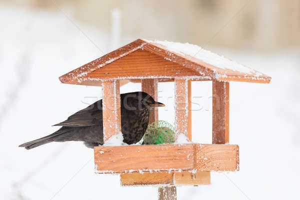 Blackbird oiseau maison Homme maison Photo stock © artush