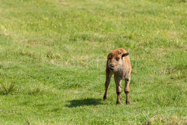American bison (Bison bison) simply buffalo Stock photo © artush