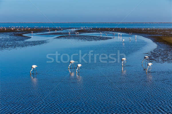 Rosy Flamingo colony in Walvis Bay Namibia, Africa wildlife Stock photo © artush