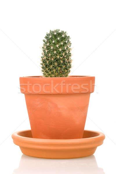 Cactus usine isolé blanche fleur Photo stock © artush