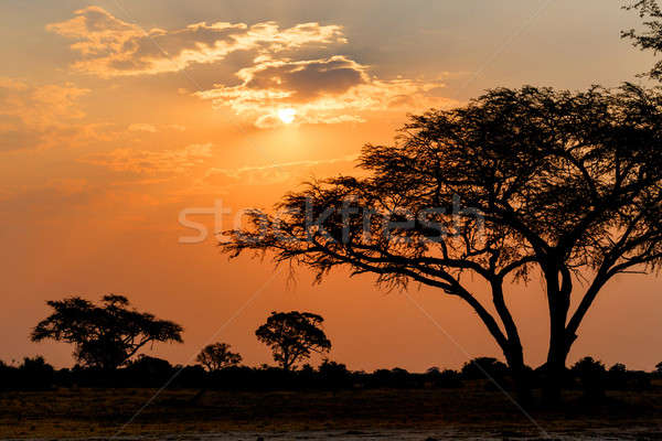 アフリカ 日没 ツリー フロント 公園 北 ストックフォト © artush