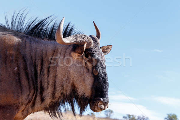 portrait of A wild Wildebeest Gnu Stock photo © artush