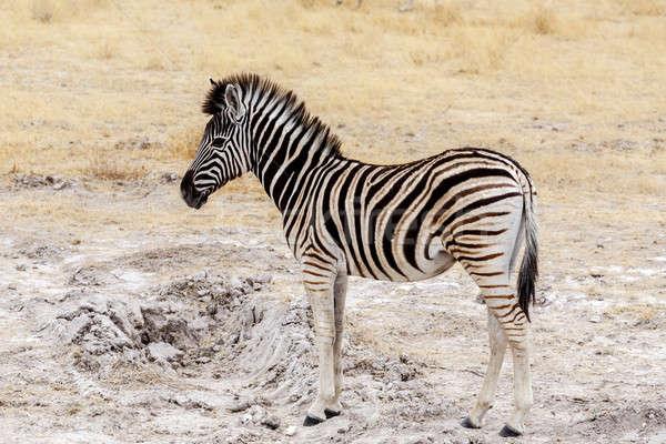 Young zebra in african bush Stock photo © artush