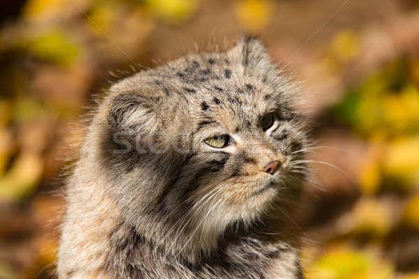 Stockfoto: Mooie · wild · kat · portret · leefgebied